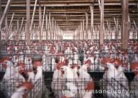 Poultryfarm