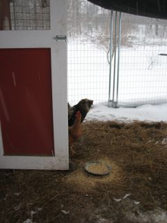 The chickens peek out of the coop, wary of the snow.