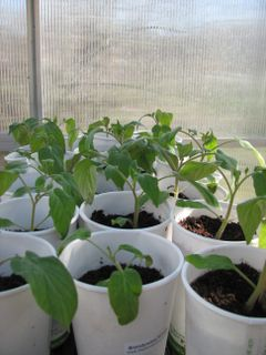 Our tomato seedlings are eager to get outside!