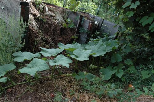 Butternut Squash growing in the compost