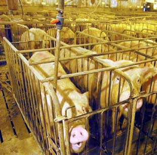 Pig-factory-farms